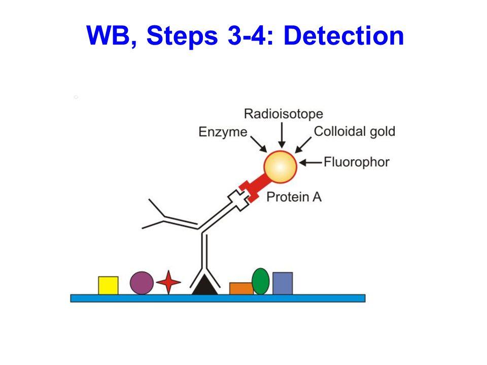 WB, Steps 3-4: Detection