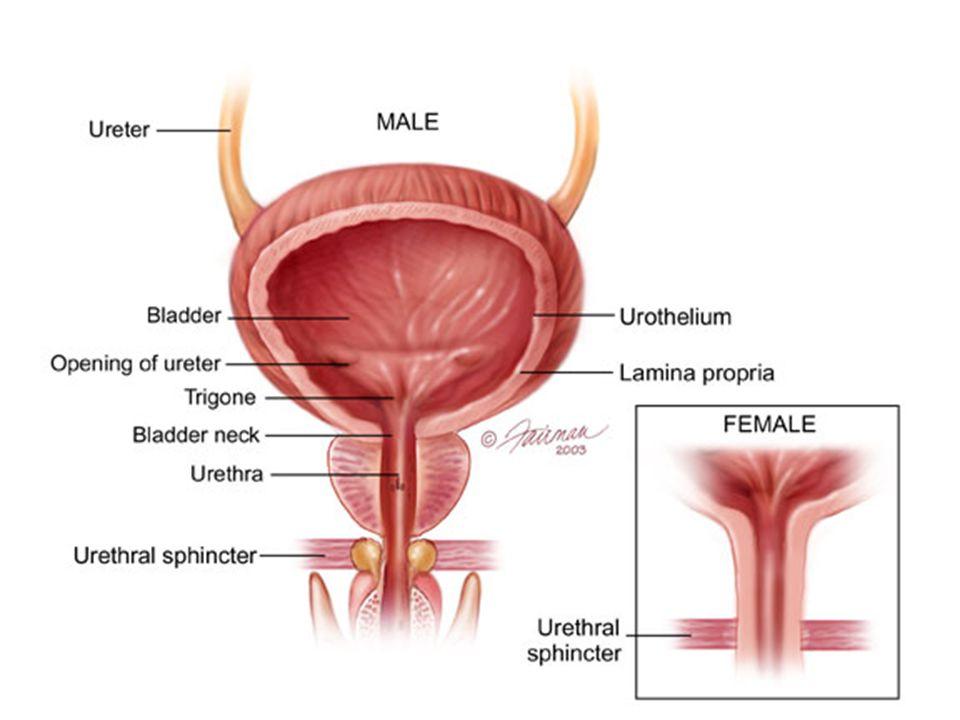 Bladder - Anatomy
