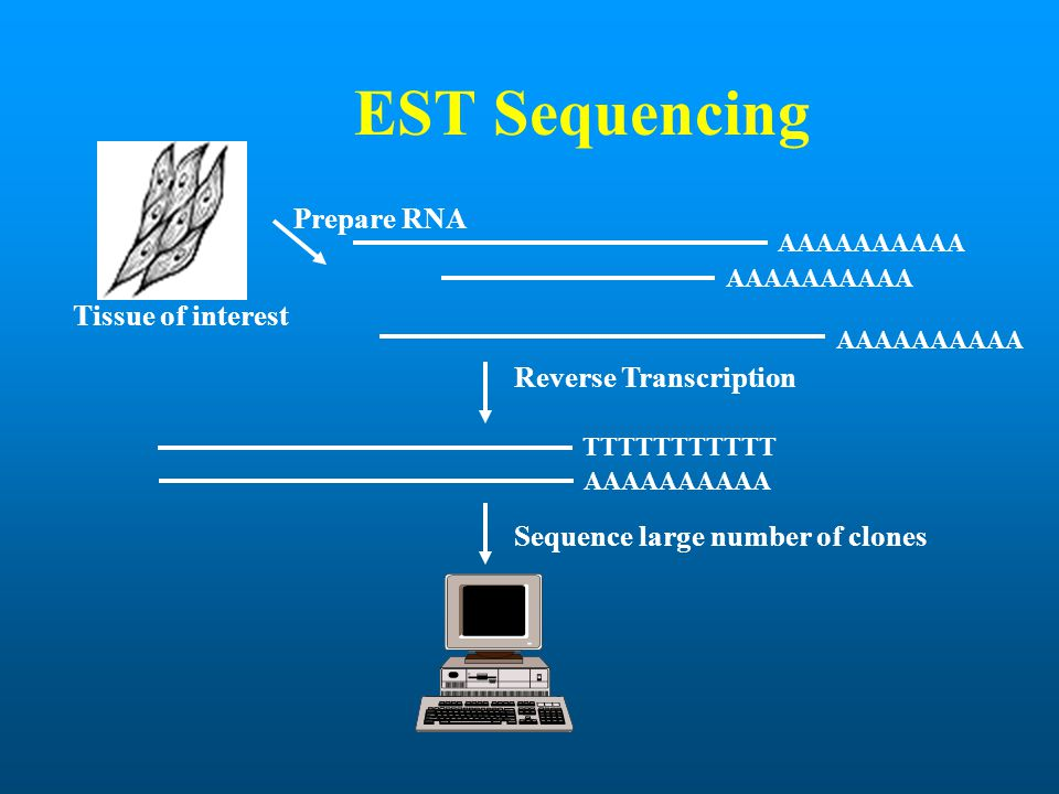 EST Sequencing AAAAAAAAAA TTTTTTTTTTT Reverse Transcription Sequence large number of clones Prepare RNA Tissue of interest