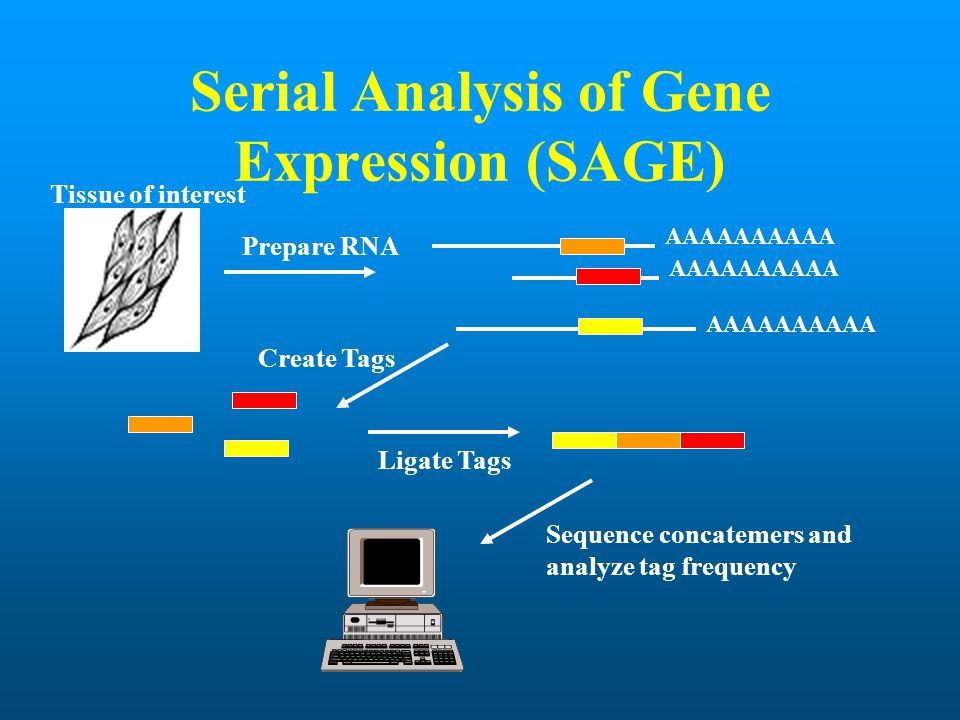 Serial Analysis of Gene Expression (SAGE) Prepare RNA AAAAAAAAAA Create Tags Tissue of interest Ligate Tags Sequence concatemers and analyze tag frequ