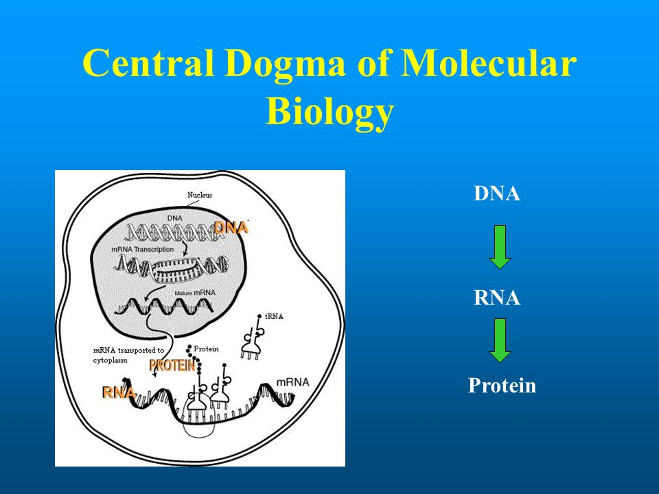 Central Dogma of Molecular Biology DNA RNA Protein