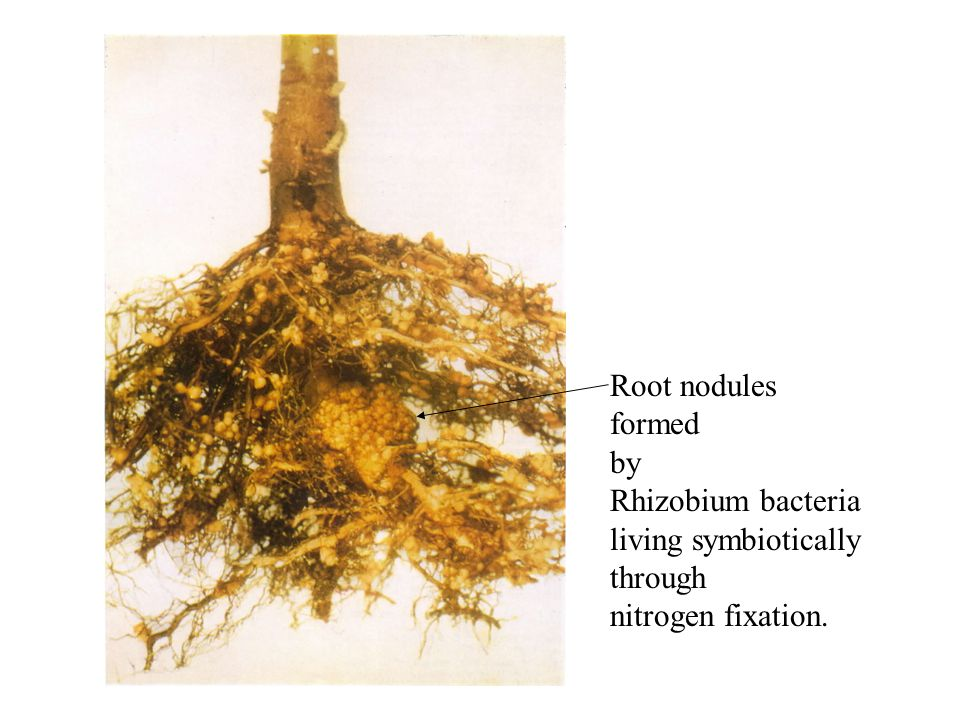 Root nodules formed by Rhizobium bacteria living symbiotically through nitrogen fixation.