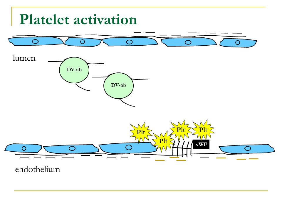 DV-ab endothelium lumen Platelet activation DV-ab vWF Plt