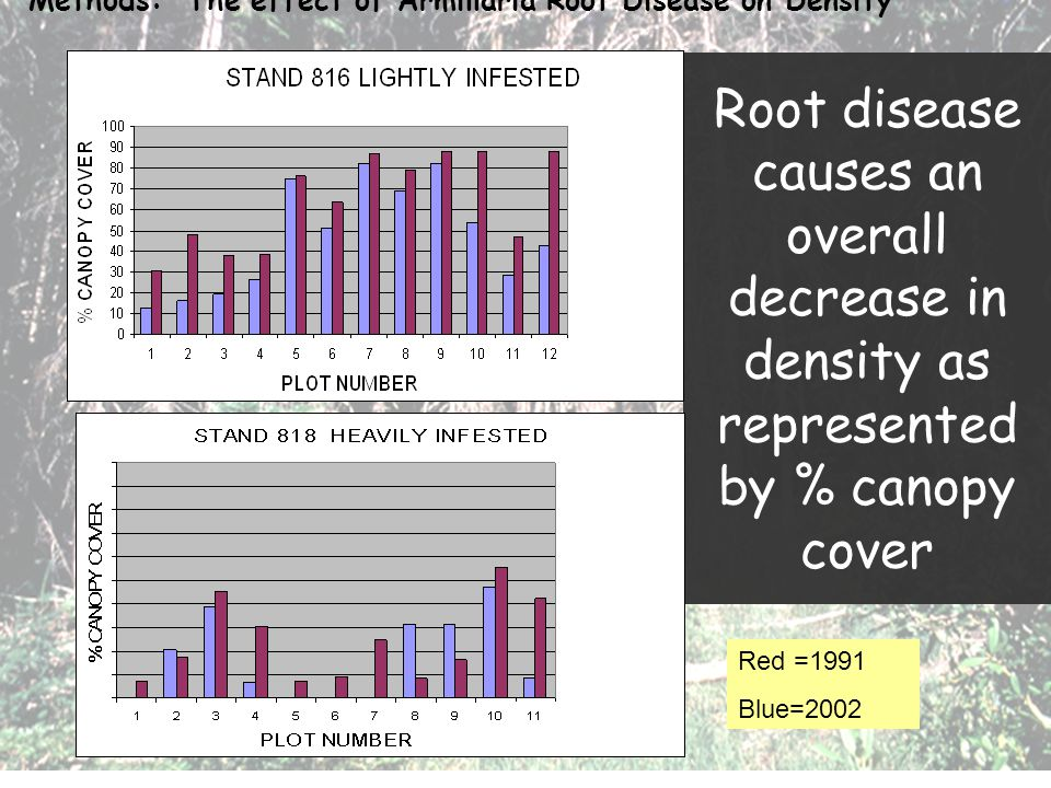 Root disease causes an overall decrease in density as represented by % canopy cover Methods: The effect of Armillaria Root Disease on Density Red =199