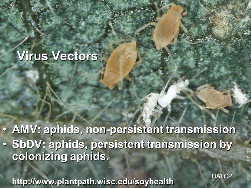 AMV: aphids, non-persistent transmissionAMV: aphids, non-persistent transmission SbDV: aphids, persistent transmission by colonizing aphids.SbDV: aphids, persistent transmission by colonizing aphids.http://www.plantpath.wisc.edu/soyhealth Virus Vectors DATCP