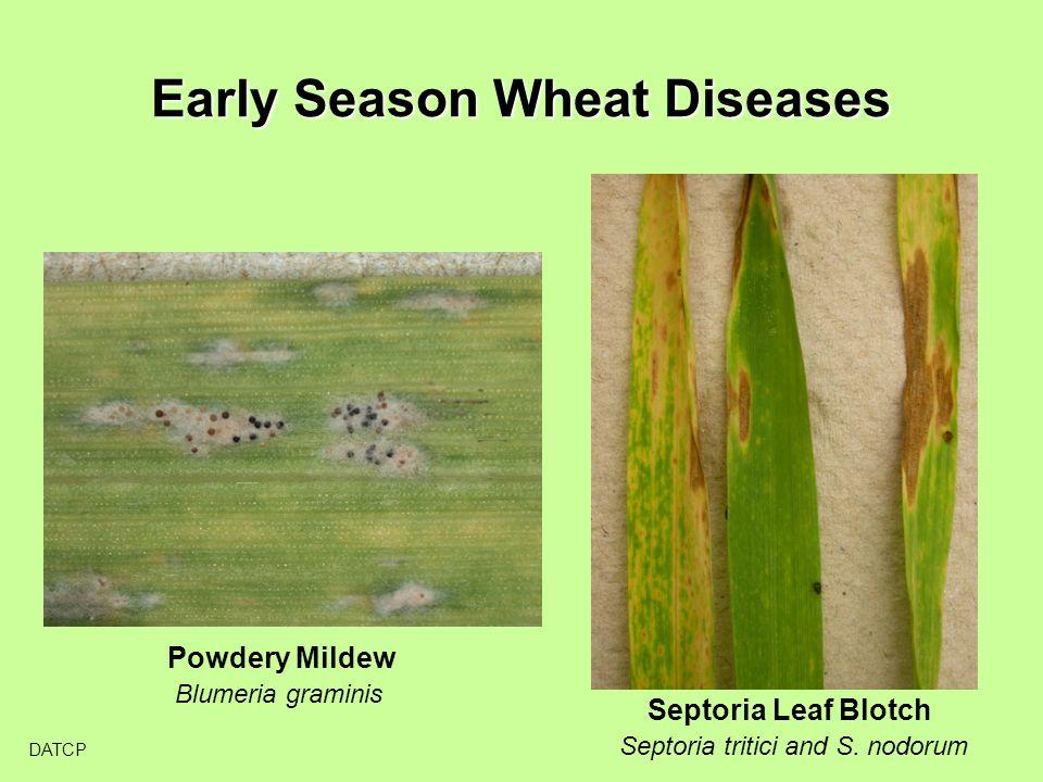 Early Season Wheat Diseases DATCP Powdery Mildew Blumeria graminis Septoria Leaf Blotch Septoria tritici and S.