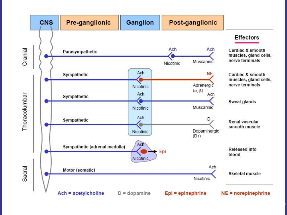 ANS Physostigmine : Naturally occurring alkaloid.Tertiary amine.