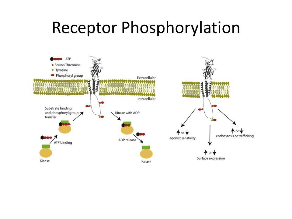 Receptor Phosphorylation