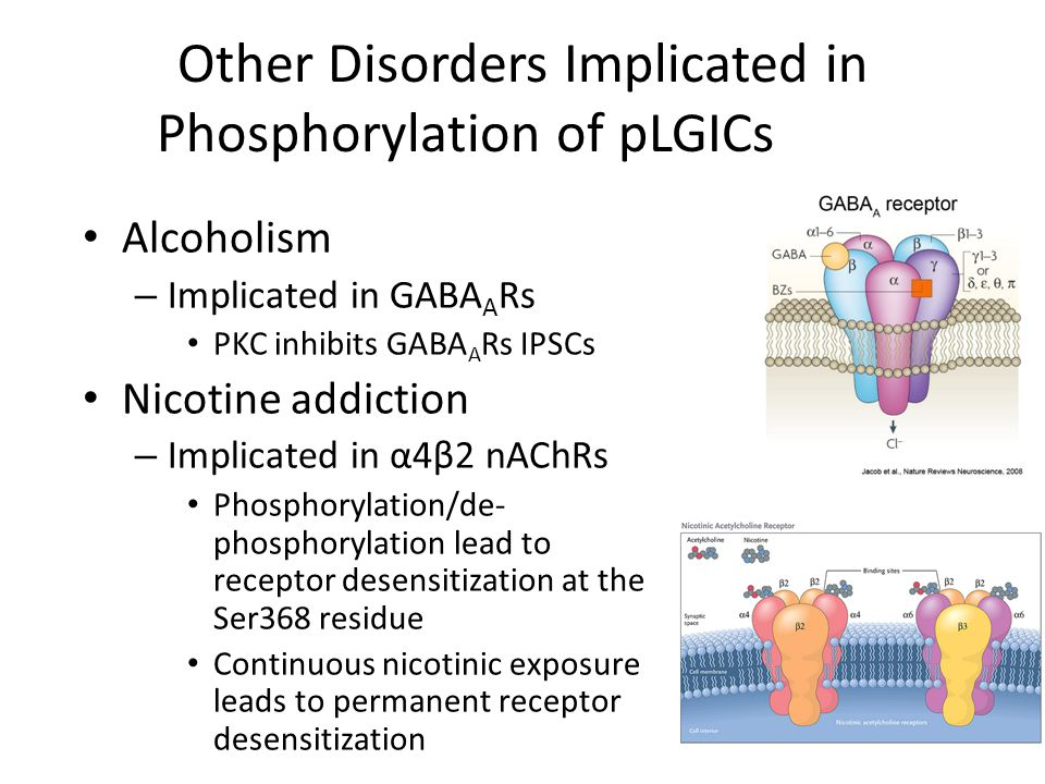 Other Disorders Implicated in Phosphorylation of pLGICs Alcoholism – Implicated in GABA A Rs PKC inhibits GABA A Rs IPSCs Nicotine addiction – Implicated in α4β2 nAChRs Phosphorylation/de- phosphorylation lead to receptor desensitization at the Ser368 residue Continuous nicotinic exposure leads to permanent receptor desensitization