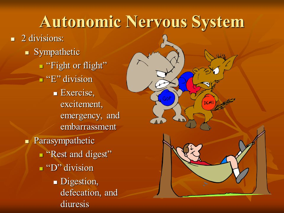 Autonomic Nervous System 2 divisions: 2 divisions: Sympathetic Sympathetic Fight or flight Fight or flight E division E division Exercise, excitement, emergency, and embarrassment Exercise, excitement, emergency, and embarrassment Parasympathetic Parasympathetic Rest and digest Rest and digest D division D division Digestion, defecation, and diuresis Digestion, defecation, and diuresis