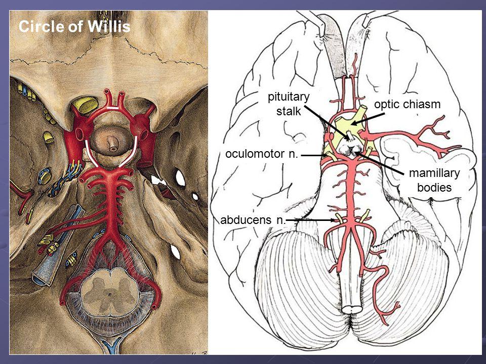oculomotor n. abducens n. optic chiasm mamillary bodies pituitary stalk