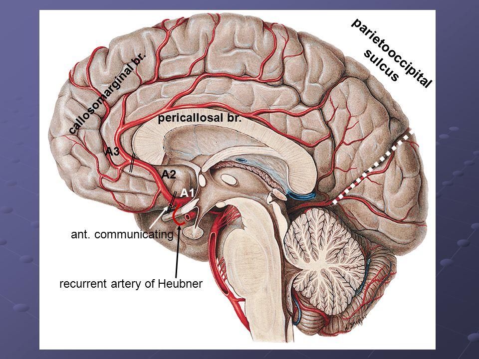 A1 ant. communicating A2 A3 callosomarginal br. pericallosal br. parietooccipital sulcus recurrent artery of Heubner