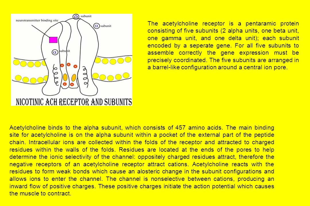 The acetylcholine receptor is a pentaramic protein consisting of five subunits (2 alpha units, one beta unit, one gamma unit, and one delta unit); each subunit encoded by a seperate gene.
