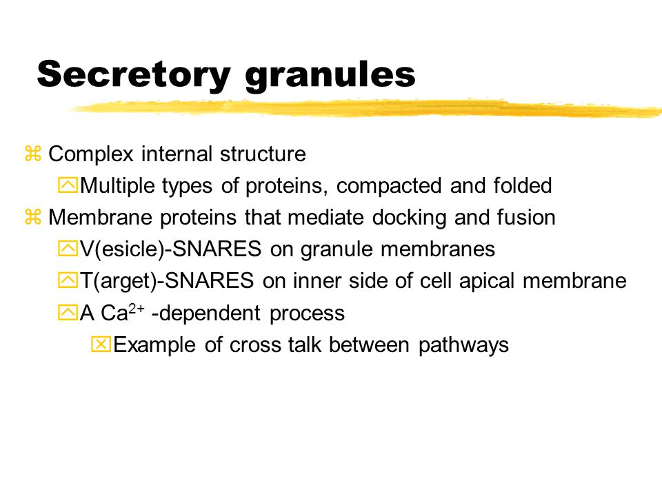 Secretory granules zComplex internal structure yMultiple types of proteins, compacted and folded zMembrane proteins that mediate docking and fusion yV(esicle)-SNARES on granule membranes yT(arget)-SNARES on inner side of cell apical membrane yA Ca 2+ -dependent process xExample of cross talk between pathways