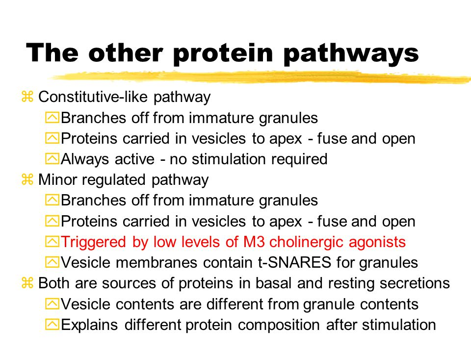 The other protein pathways zConstitutive-like pathway yBranches off from immature granules yProteins carried in vesicles to apex - fuse and open yAlways active - no stimulation required zMinor regulated pathway yBranches off from immature granules yProteins carried in vesicles to apex - fuse and open yTriggered by low levels of M3 cholinergic agonists yVesicle membranes contain t-SNARES for granules zBoth are sources of proteins in basal and resting secretions yVesicle contents are different from granule contents yExplains different protein composition after stimulation