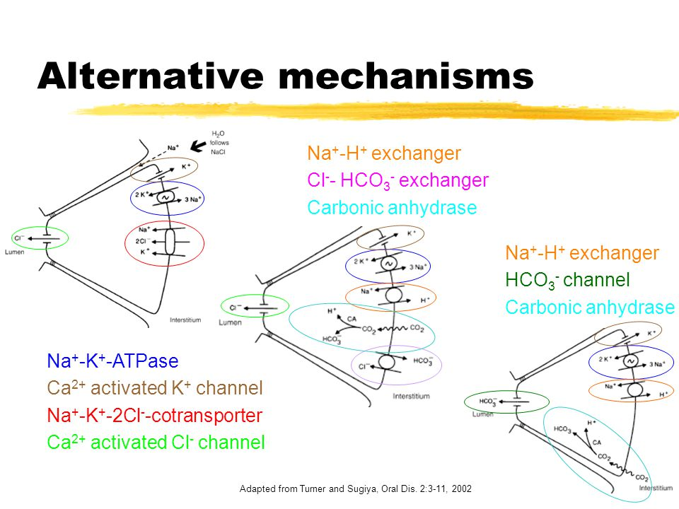 Alternative mechanisms Na + -K + -ATPase Ca 2+ activated K + channel Na + -K + -2Cl - -cotransporter Ca 2+ activated Cl - channel Na + -H + exchanger Cl - - HCO 3 - exchanger Carbonic anhydrase Na + -H + exchanger HCO 3 - channel Carbonic anhydrase Adapted from Turner and Sugiya, Oral Dis.