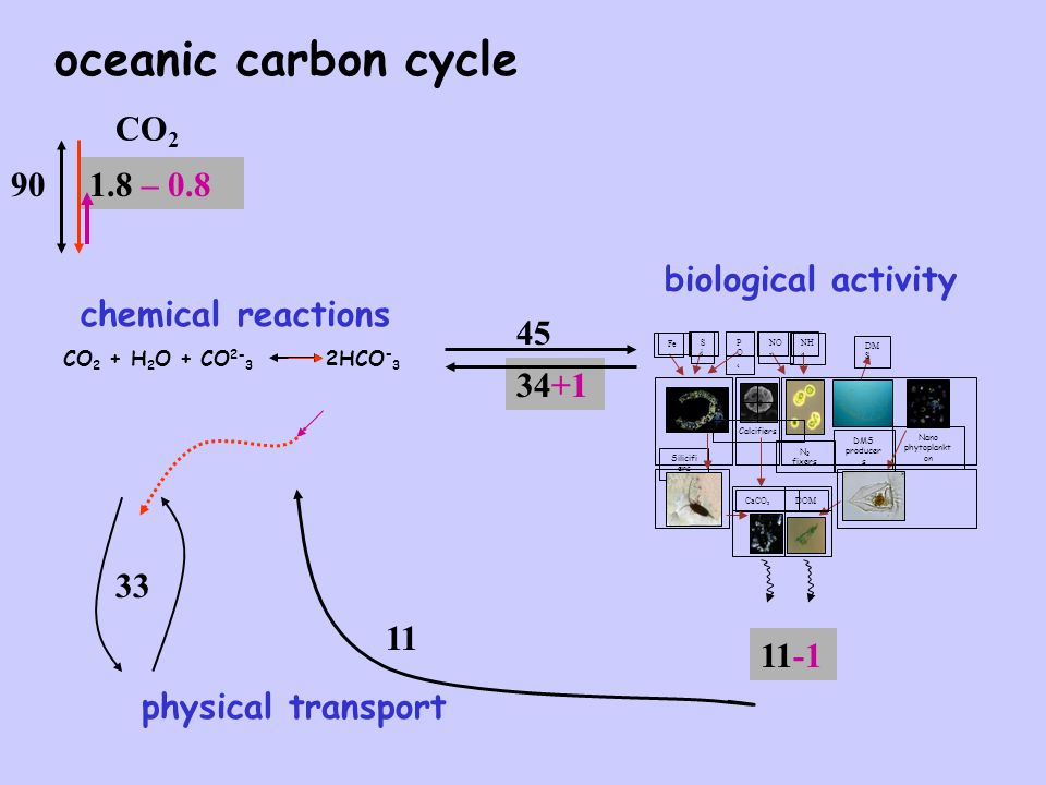 oceanic carbon cycle Silicifi ers N 2 fixers DMS producer s Calcifiers Nano phytoplankt on Fe NO 3 SiSi CaCO 3 DM S PO4PO4 NH 4 DOM biological activity 11-1 45 34+1 physical transport 11 33 CO 2 CO 2 + H 2 O + CO 2- 3 2HCO - 3 chemical reactions 901.8 – 0.8