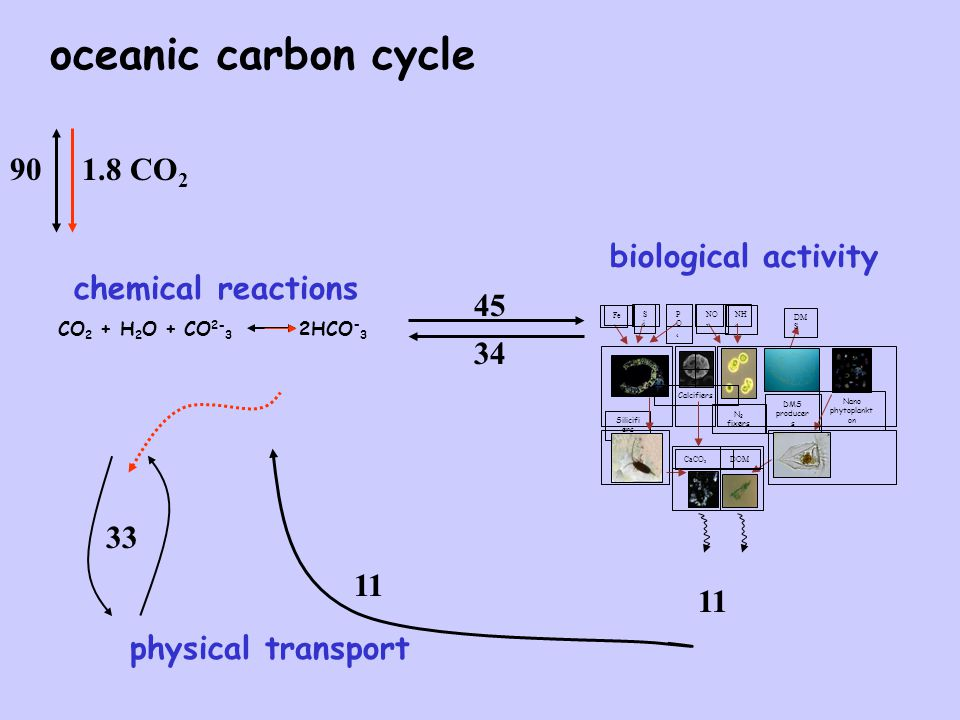 oceanic carbon cycle Silicifi ers N 2 fixers DMS producer s Calcifiers Nano phytoplankt on Fe NO 3 SiSi CaCO 3 DM S PO4PO4 NH 4 DOM biological activity 11 45 34 physical transport 11 33 CO 2 CO 2 + H 2 O + CO 2- 3 2HCO - 3 chemical reactions 901.8