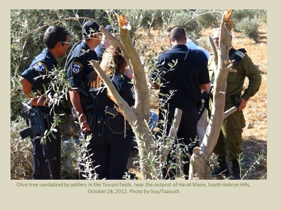 Olive tree vandalized by settlers in the Tuwani fields, near the outpost of Havat Maon, South Hebron Hills, October 28, 2012.