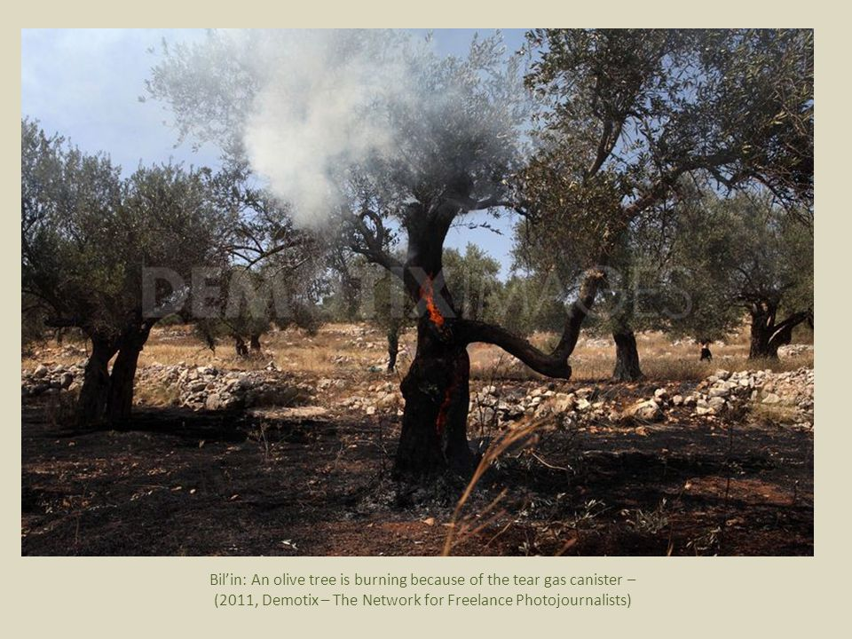 Bil'in: An olive tree is burning because of the tear gas canister – (2011, Demotix – The Network for Freelance Photojournalists)