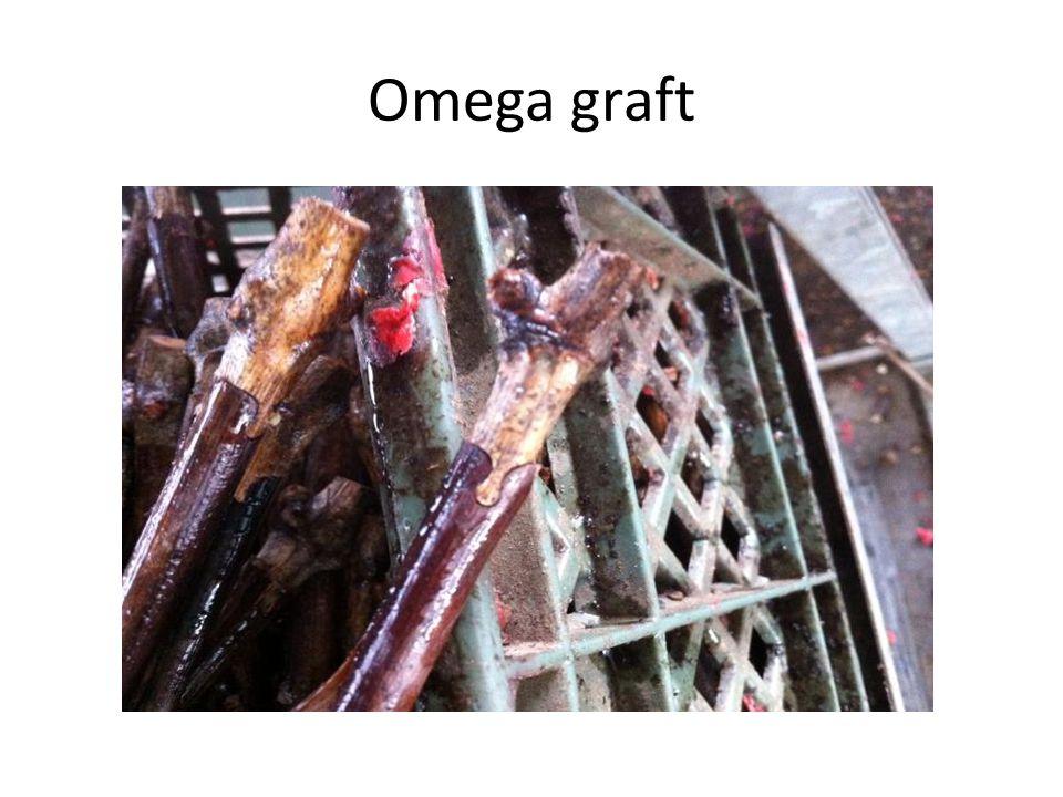 Omega graft