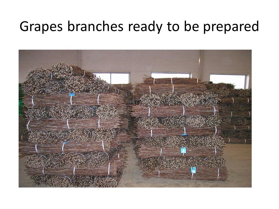 Grapes branches ready to be prepared