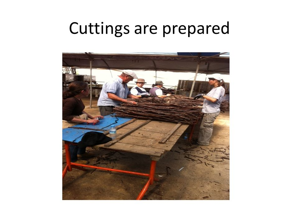 Cuttings are prepared