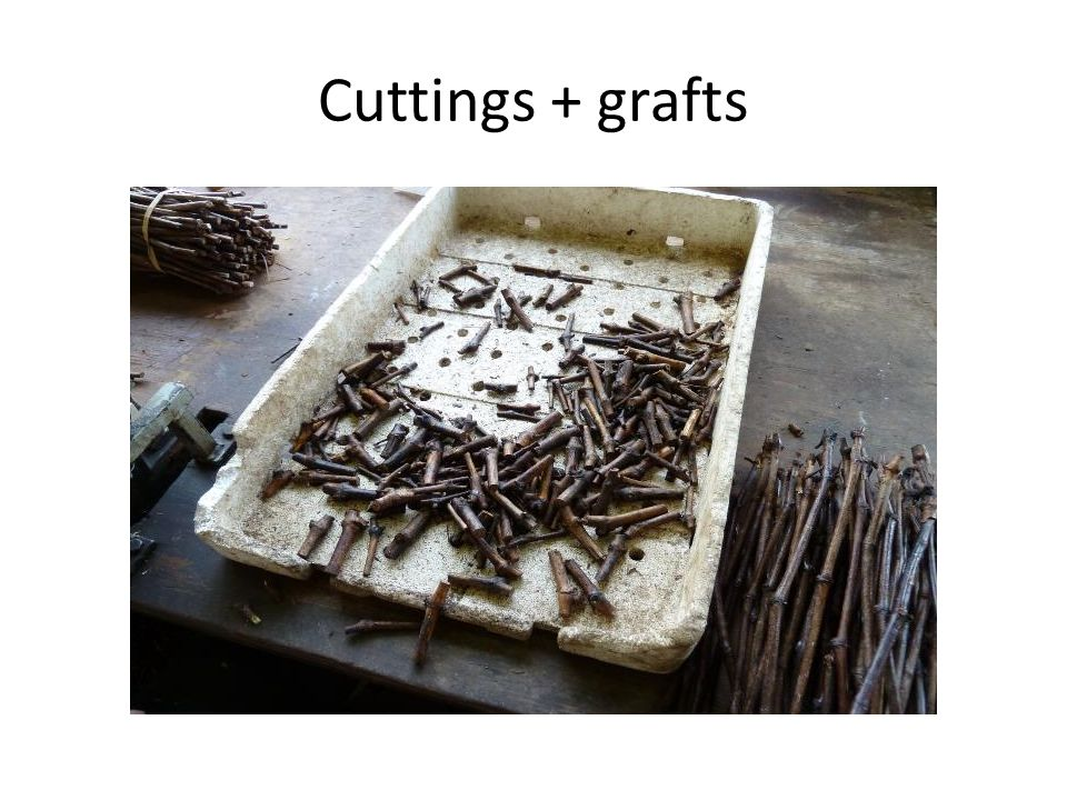 Cuttings + grafts