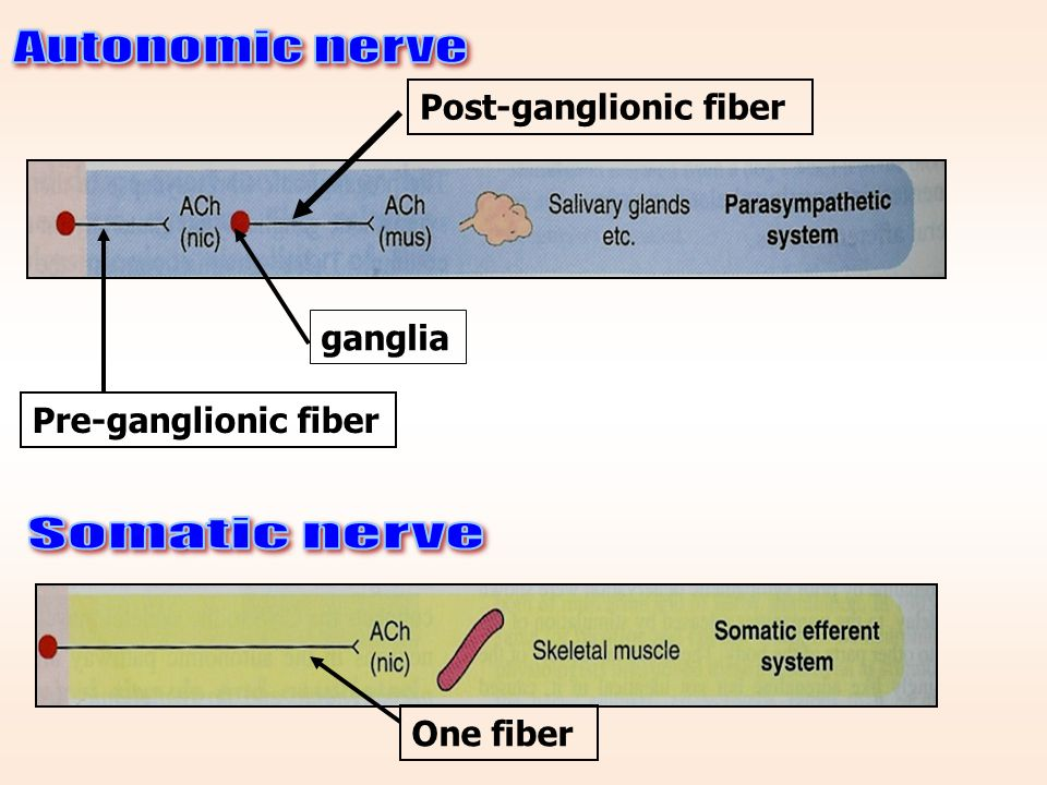 What are the differences between the somatic and the autonomic nervous system? Somatic N.SAutonomic N.S Control skeletal muscles Control internal visc