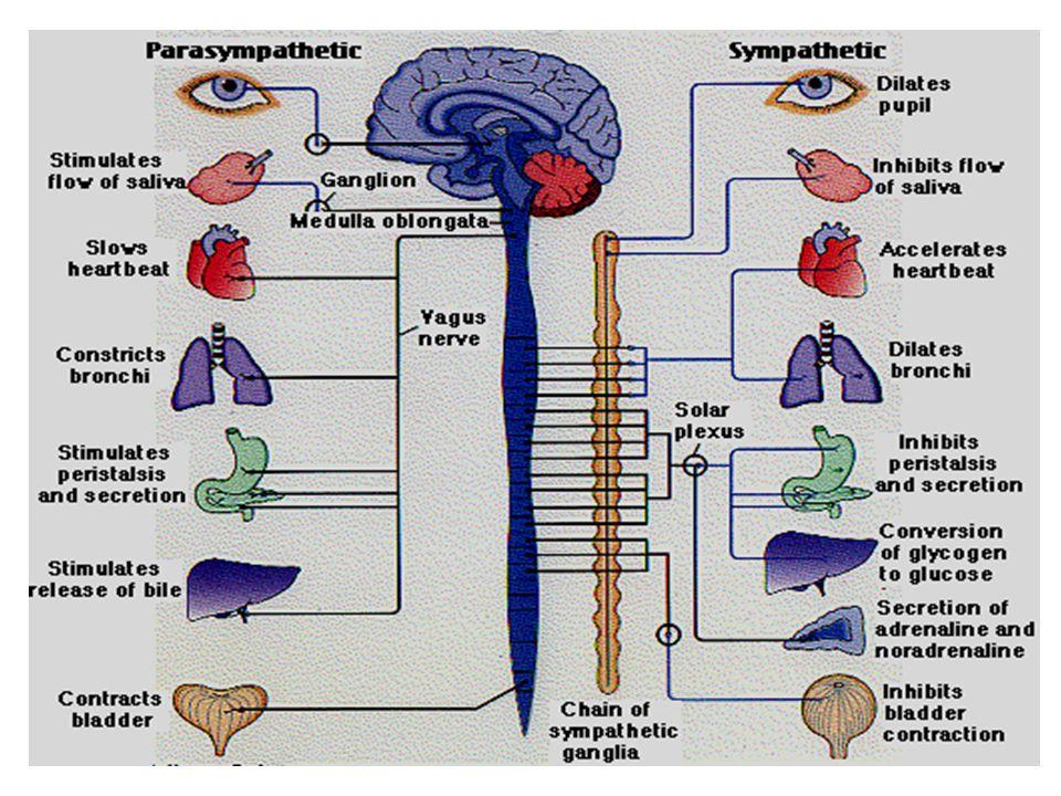 Parasympathetic Nervous System Parasympathetic Nervous System (craniosacral outflow)