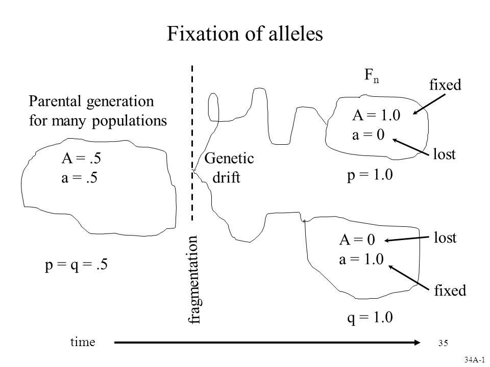 35 Fixation of alleles Parental generation for many populations A =.5 a =.5 p = q =.5 fragmentation FnFn A = 1.0 a = 0 fixed lost fixed A = 0 a = 1.0 lost q = 1.0 p = 1.0 Genetic drift 34A-1 time