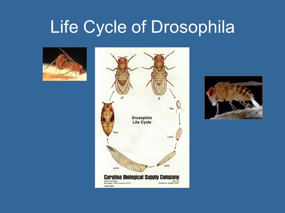 Life Cycle of Drosophila