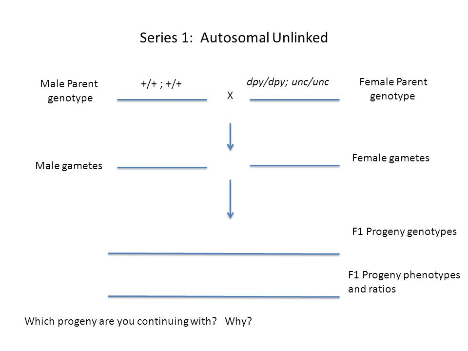 Series 1: Autosomal Unlinked Female Parent genotype Male Parent genotype X Male gametes Female gametes F1 Progeny genotypes Which progeny are you cont