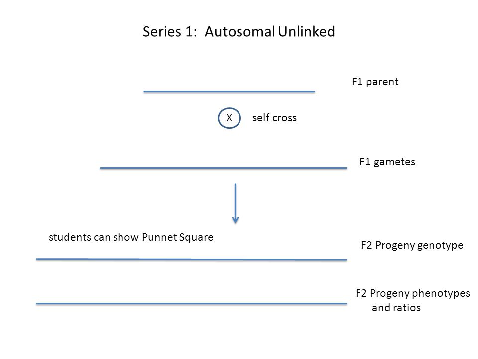 Series 1: Autosomal Unlinked F1 parent Xself cross F1 gametes F2 Progeny genotype F2 Progeny phenotypes and ratios students can show Punnet Square