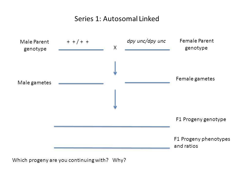 Series 1: Autosomal Linked Female Parent genotype Male Parent genotype X Male gametes Female gametes F1 Progeny genotype Which progeny are you continuing with.