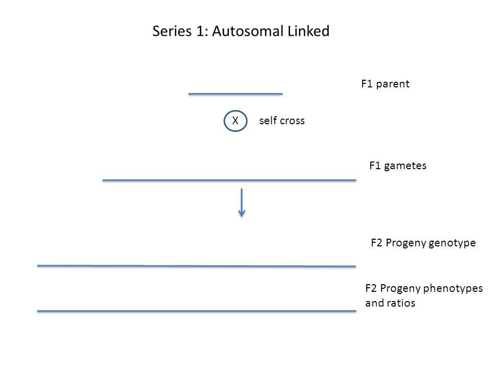 F1 parent Xself cross F1 gametes F2 Progeny genotype F2 Progeny phenotypes and ratios