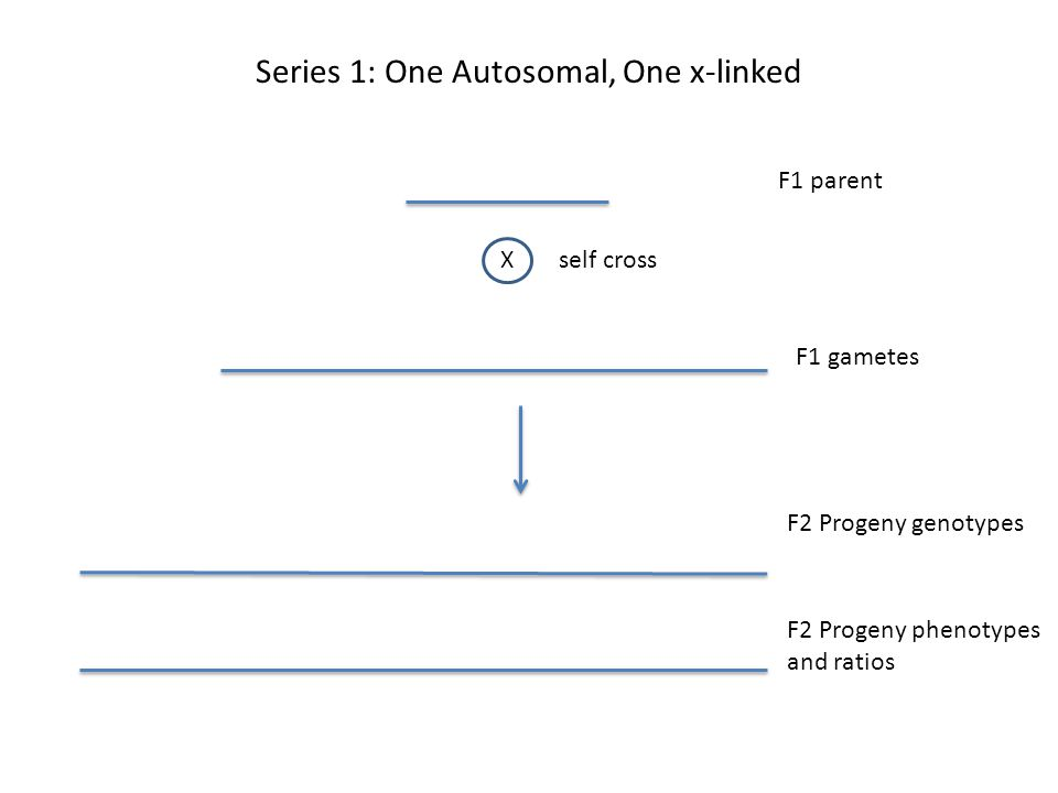 F1 parent Xself cross F1 gametes F2 Progeny genotypes F2 Progeny phenotypes and ratios Series 1: One Autosomal, One x-linked