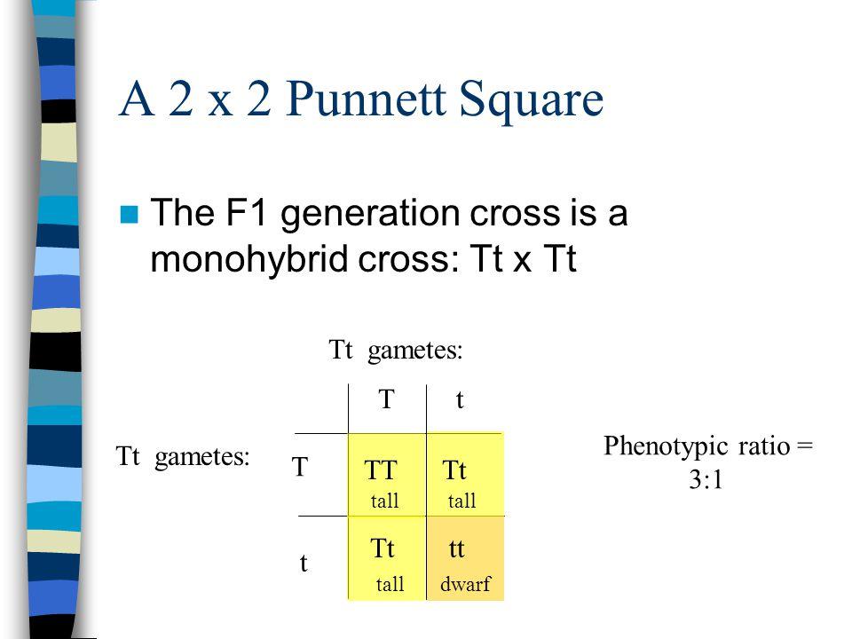 A 2 x 2 Punnett Square The F1 generation cross is a monohybrid cross: Tt x Tt Tt gametes: T Tt t TTTt tt tall dwarf Phenotypic ratio = 3:1