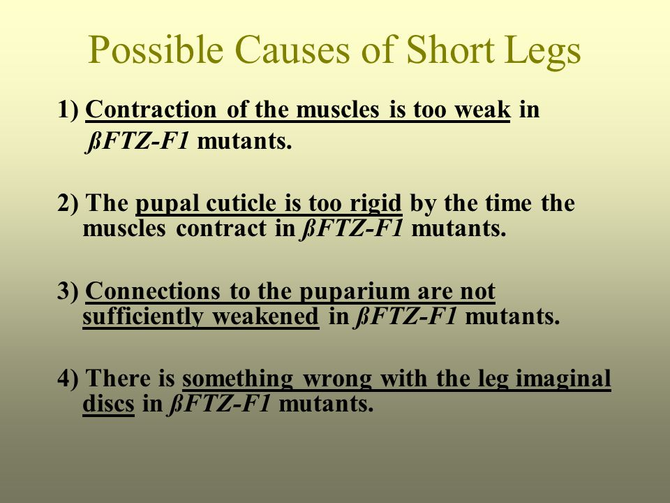 Possible Causes of Short Legs 1) Contraction of the muscles is too weak in ßFTZ-F1 mutants.