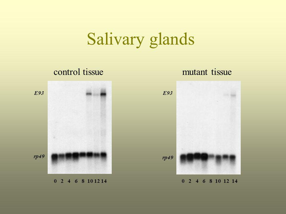 Salivary glands control tissuemutant tissue E93 rp49 E93 rp49 0 2 4 6 8 10 12 14