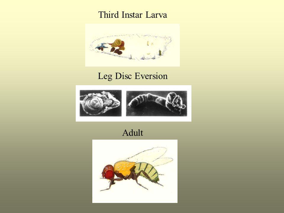 Third Instar Larva Leg Disc Eversion Adult