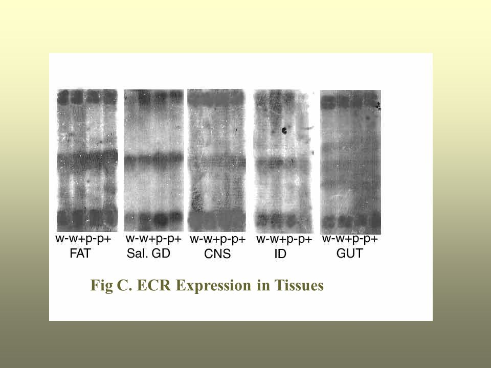 Fig C. ECR Expression in Tissues