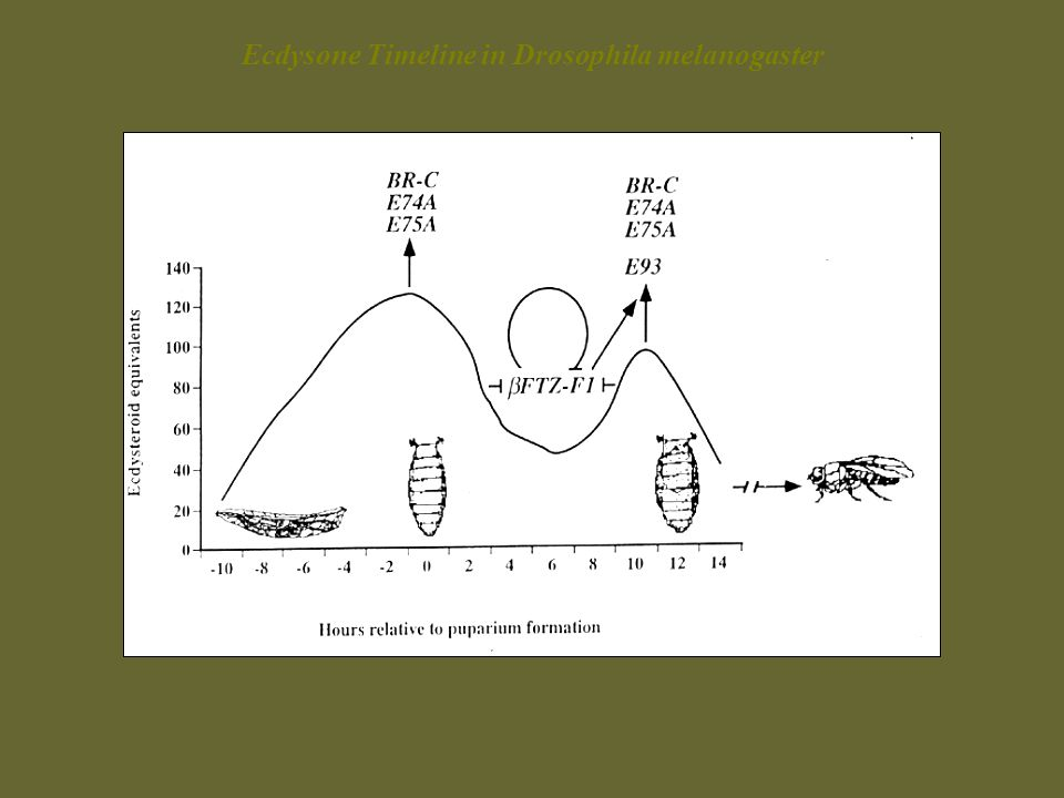 Ecdysone Timeline in Drosophila melanogaster