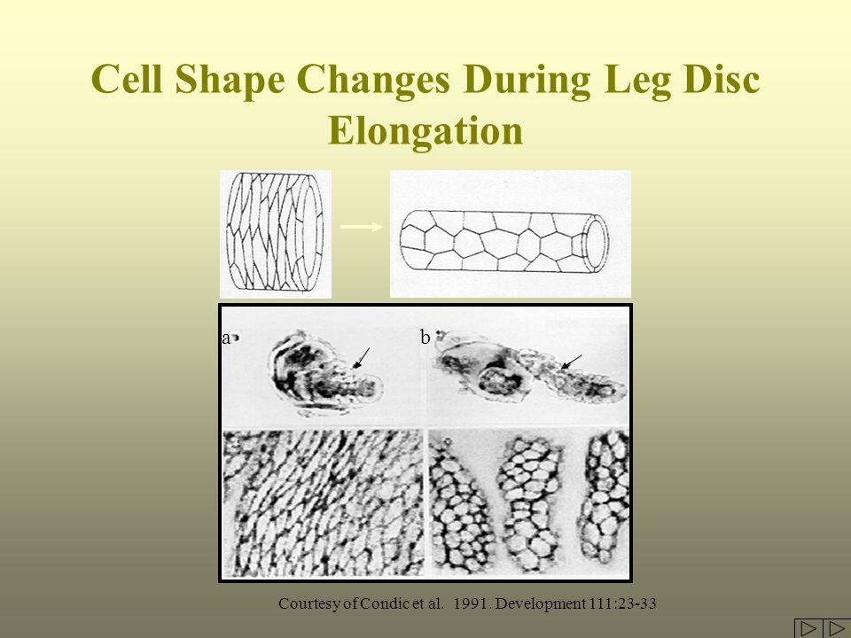 Cell Shape Changes During Leg Disc Elongation Courtesy of Condic et al. 1991. Development 111:23-33 ab