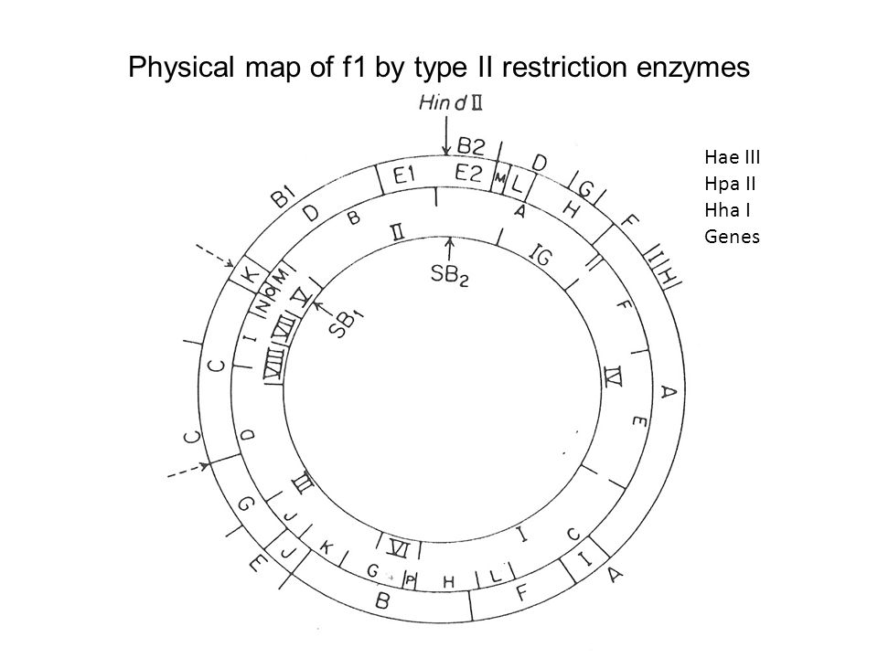 Physical map of f1 by type II restriction enzymes Hae III Hpa II Hha I Genes
