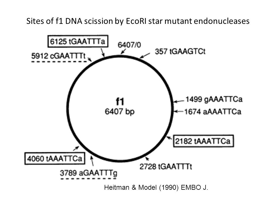 Heitman & Model (1990) EMBO J. Sites of f1 DNA scission by EcoRI star mutant endonucleases