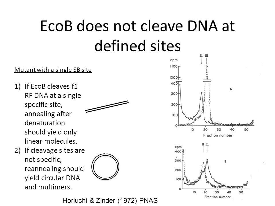 EcoB does not cleave DNA at defined sites Horiuchi & Zinder (1972) PNAS 1)If EcoB cleaves f1 RF DNA at a single specific site, annealing after denaturation should yield only linear molecules.