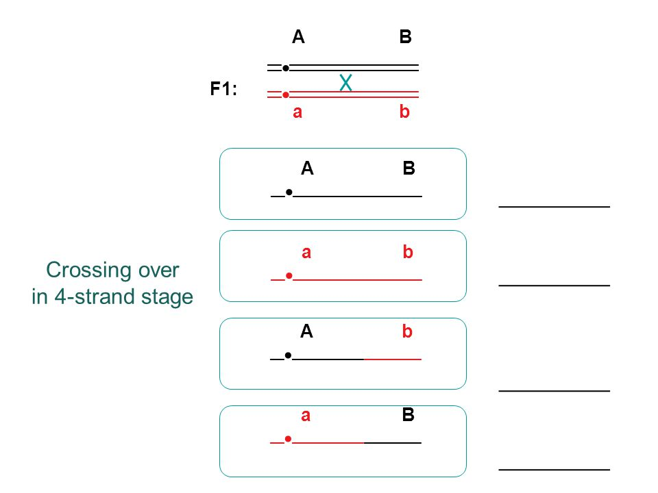 When genes are on the same chromosome, but far apart: Crossing over between them will be common, approaching 100% of the time In this case, what proportion of all F1 gametes will be recombinant (have a combination of alleles that was not present in the original true-breeding parents)