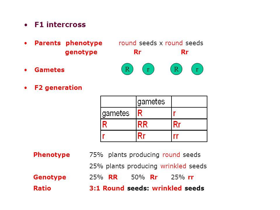 F1 intercross Parents phenotype round seeds x round seeds genotype Rr Rr Gametes F2 generation RrrR Phenotype75% plants producing round seeds 25% plants producing wrinkled seeds Genotype25% RR 50% Rr 25% rr Ratio3:1 Round seeds: wrinkled seeds