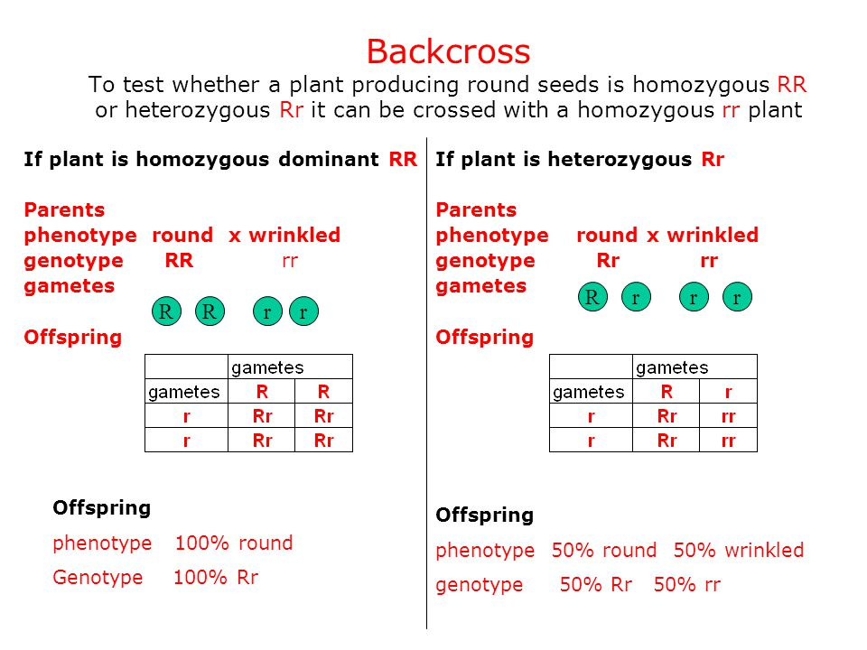 Backcross To test whether a plant producing round seeds is homozygous RR or heterozygous Rr it can be crossed with a homozygous rr plant If plant is h